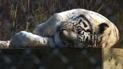 Spring Break (Daphne-8) Tags: tiger white weiss animal predator cat katze raubtier wildlife zoo