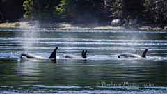 Orca Lined up and on the Move! (Roshine Photography) Tags: orca water salishsea pentaxart mist action island vancouverisland