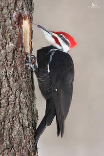 Pileated Woodpecker - Grand pic - Hylatomus pileatus ♂