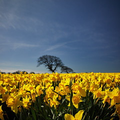 A host...3 (explored March 2017) (another_scotsman) Tags: daffodil landscape flower tree wales smileonsaturday springflower20172018