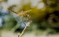 DSCF5705 (Evren Unal Photography) Tags: dragonfly fly bug bugs insect insects sun sunset sunlight macro closeup fujifilm carlzeiss zeiss red bokeh deep 50mm art nature artnature ngc touit2850m depth field animal outdoor