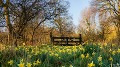 Fence and Daffodils (BraCom (Bram)) Tags: bracom daffodil narcis fence hff trees flowers bloemen hek gate poort spring lente narcissus rockanje tenellaplas zuidholland nederland southholland netherlands holland canoneos5dmkiii widescreen canon 169 canonef24105mm bramvanbroekhoven nl