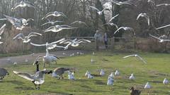 Bird mob (hedgehoggarden1) Tags: norfolk eastanglia uk whitlinghamcountrypark canon canonpowershotsx50hs bridgecamera countrypark birds gulls nature wildlife park canadageese blackheadedgulls