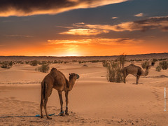 Sahara 2017 (Emmanuel Pampuri) Tags: gh5 lumix panasonic desert sahara chameau camel sunset coucherdesoleil dune dromadaire