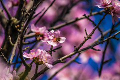 Sonje 2017 07 (PGM Photography) Tags: nikon sigma skopje sonje flowers colors spring scent smell trees bloom macedonia nature fruit bees honey macro sun sunny