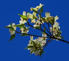 Dogwood (davidwilliamreed) Tags: dogwood plant flowers leaves stems nature backlighting colorful