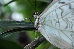 Papillons en Liberté 2017 - Photo 22 (Le Chibouki frustré) Tags: nikon nikond700 d700 700 fx fullframe montréal montreal homa hochelagamaisonneuve macro macrophotographie botanicalgarden jardinbotanique jardinbotaniquedemontréal montrealbotanicalgarden butterfly insect insects bokeh dof pdc papillonsenliberté2017 butterfliesgofree2017 closeuplens closeupfilter