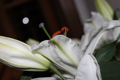 Lillies (WorldClick) Tags: life lilys pollen lillies lilly light effect vivid flower soft flowers art deco phool leaves leaf pretty petals petal camera canon eos 1100d canoneos1100d perspective photo photography photographer picture photograph angels