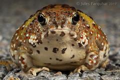 Crucifix Frog (Notaden bennettii) (Jules Farquhar.) Tags: crucifixfrog holycrossfrog notadenbennettii frog amphibia amphibian globose burrower herpetofauna whoopwhoop drywoodlands southernriverina nsw julesfarquhar australian frogs
