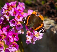Schmetterling (Distelfalter) (ollo40) Tags: schmetterling butterfly falter distelfalter outdoor vanessa cardui sony a6300 ilce6300