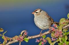 White-crowned Sparrow juvenile by Jackie B. Elmore 4-7-2017 Lincoln Co. KY (jackiebelmore) Tags: zonotrichialeucophrys whitecrownedsparrow sparrow lincolnco kentucky nikon7100 tamronsp150600f563 jackiebelmore kos