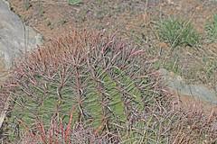 CAD0006104a (jerryoldenettel) Tags: 170324 2017 barrelcactus cactaceae caryophyllales coreeudicots ferocactus ferocactuswislizeni fishhookbarrelcactus lunaco nm springcanyonstatepark wildflower cactus flower