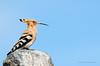Hoopoe (Esmaeel Bagherian) Tags: hoopoe huppefasciee upupaupupa epopsbirdbirds photographybirdsbird watchingbird watcheresmaeel bagheriantamrontamron 150600nikon d7000nikonbirds باقریان پوپک هدهد شانهبهسر پرندهنگری پرندگانایران اسماعیلباقریان birds nikon