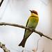 Chestnut-Chestnut-headed bee-eater (Merops leschenaulti), Kaziranga National Park, Assam, India