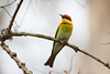 Chestnut-Headed Bee-Eater (GregoireDubois) Tags: 2017 india kaziranga nationalpark unescoworldheritage kaziranganationalpark chestnutheadedbeeeater meropsleschenaulti