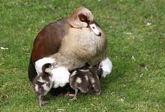 Hey Guys, Make Some Room! [eXPLoReD] (Ger Bosma) Tags: 2mg212624zz nijlgans alopochenaegyptiacus alopochenaegyptiaca egyptiangoose nilgans ouettedégypte ocadelnilo ocaegiziana goose geese waterfowl baby babies goslings gosling hatchlings