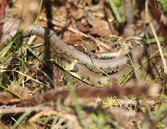 Grass Snake (Team Mozz) Tags: uk rspb pulboroughbrooks westsussex natrixnatrix grasssnake