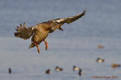 Coming in for a landing... (danielusescanon - driving to Alaska) Tags: wild bird duck bif landing mallard anasplatyrhynchos anseriformes anatidae choptankriver cambridge maryland birdperfect