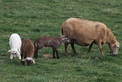 Another 3 (baalands) Tags: katahdin hair sheep lambs triplets grazing grass spring farm ewe