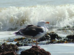 Black-back (ekaterina alexander) Tags: blackback great blackbacked gull larus marinus seagull sea waves coast shore spring ekaterina england alexander sussex wild nature photography pictures
