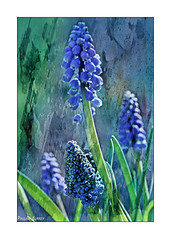 Blue And Green Should Be Seen! (paulinecurrey) Tags: blue green textures texture blooms bloom flower floral flora leaves leaf grapehyacinth digital canon bright contrast art artistic creative garden nature natural fantasticnature colourful