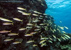 Yellowfin Goatfish, Mulloidichthys vanicolensis, Hurgada, Red Sea (Jeremy Smith Photography) Tags: diving hurgada jeremysmith jeremysmithphotography jeremysmithphotographycouk marineconservation mulloidichthysvanicolensis redsea scubadiving underwaterwideanglephotography yellowfingoatfish