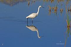 Une pour deux..... (PACHA23) Tags: cabodegata faune reflet nature wildlife fauna oiseaudeau viesauvage espagne egret garceta aigrette