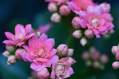 Wonderful spring (Sophai900) Tags: macro green spring pink flowers