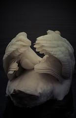 Heavens wings (Coisroux) Tags: swan cygnet wingspan heavenly feathers reflections shadows dramatic d5500 nikond birdlife majectix aura liquid depthoffield darkness wings