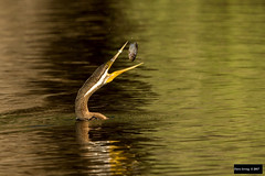 Australasian Darter (Anhinga novaehollandiae) (Dave 2x) Tags: anhinganovaehollandiae anhinga novaehollandiae australasian darteraustralasiandarterfishfeedingeatingcatchfishingherdsman lakeherdsmanlakeperthwestern australiaaustralialeast concernaustralian darter