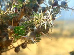 Thorny Acacia - Food for Giraffes! (janetfo747 ~ off and on for a while) Tags: africa ngorongorocrater ngorongoro wildlife giraffe capebufflo thorns trees viewselephants donkeys