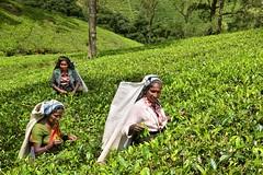 _DCS1264jpg (Tartarin2009 (ion/off)) Tags: travel nikon d600 srilanka nuwaraeliya teaplantation crop tea worker woman nuwareliya teaworker hill plant plante thé feuille leaf cueillette