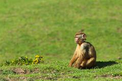 Baby magot (Danel Solabarrieta) Tags: monkey primate macaque macaca gibraltar barbaryape sylvanuscercopithecidae babymagot