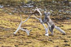Arctic fox (tomaszberlin) Tags: fox arctic mammal d500 puppy fancy animal widlife svalbard nature