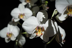 Orchids (Antonio Ferraroni) Tags: light summer portrait white black orchid flower verde primavera robert canon ma 50mm photo spring estate mark natura ii mapplethorpe 18 orchidee fiore bianco nero luce mk mkii markii orchidea contast 50d impatto