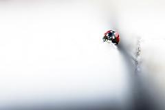 Lady Bug (John Sieber) Tags: macro ladybug insectmontana