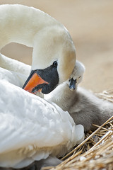 Mute Swan Cygnets (Jacky Parker Floral Art) Tags: portrait white bird nature birds vertical closeup spring babies wildlife young mother cygnet naturereserve dorset format orientation cygnets avian abbotsbury youngsters hatching muteswan cygnusolor wildfowl swannery greay 2013 juveniles