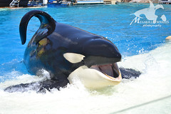 (Megakillerwhales) Tags: california dolphin dolphins whale whales orca beluga seaworld shamu belugas orkid killerwhale orcas killerwhales nakai seaworldsandiego keet babyk shouka kassy kalia orcawhales ulises ikaika shamushow orcawhale corky2 seaworldcalifornia oneocean orcashow kasatka nalanidreamer megakillerwhales kasatkasnewcalf