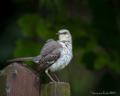 Northern Mockingbird (Jerry_a) Tags: birds delaware mockingbird whiteclaycreek 400mmf56lusm canon7d