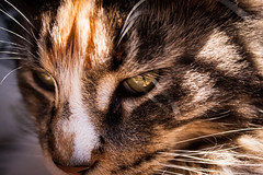 Mila (sjors.ruygrok) Tags: cat mainecoon