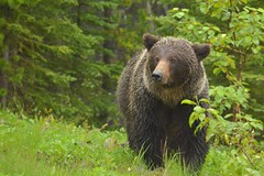 Queen of Core Lodge (Hello, It's Me) Tags: bear danger britishcolumbia wildlife mother grizzly predator momma sow tumblerridge