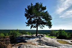 Remarkable tree. (O.Blaise) Tags: france tree nature forest photo site oak stage formation pointofview trail promenade arbre sentier ballade fort fontainebleau tourisme remarkable massif chne bombarde forestier remarquable denecourt