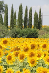 Tuscany countryside, with sunflowers in bloom (lreed76) Tags: trees countryside sunflowers tuscany pienza juniper cretesenese