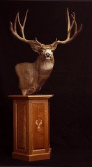 "Animal Art Taxidermy Utah - Mule Deer • <a style=""font-size:0.8em;"" href=""http://www.flickr.com/photos/27376150@N03/9353877566/"" target=""_blank"">View on Flickr</a>"