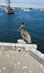 Pelican (Eternal Eye) Tags: ocean life california ca flowers blue houses sunset sea wild people urban plants streets beach nature fog boat monterey cool fishing walks pacific wildlife montereybay flute seals roads pacificgrove companies urbanlife
