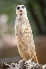2013-09-02-11h02m53.272P5605 (A.J. Haverkamp) Tags: stokstaartje meerkat germany dierentuin httpwwwwilhelmade canonef100400mmf4556lisusmlens wilhelma zoo stuttgart duitsland