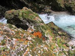 Orange leaves against the moss, Vintgar Gorge, Slovenia (Paul McClure DC) Tags: nature river scenery slovenia geology slovenija vintgargorge radovna soteskavintgar blejskivintgar oct2012 bledgorge