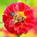 Honeybee on Dahlia / ダリアにとまるミツバチ