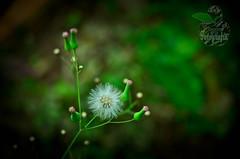 Florecillas del campo (dNa 2  - Daniela Araya Abreu -) Ta