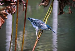 Blue bird in the botanical garden of Pamplemousses, Mauritius